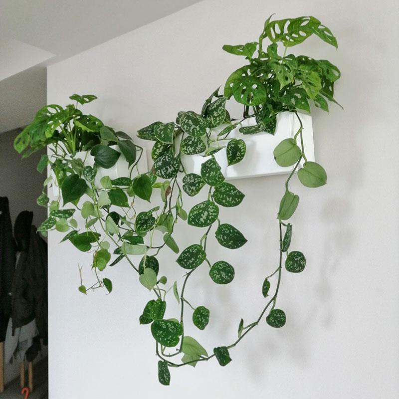 kancelarijske biljke zid